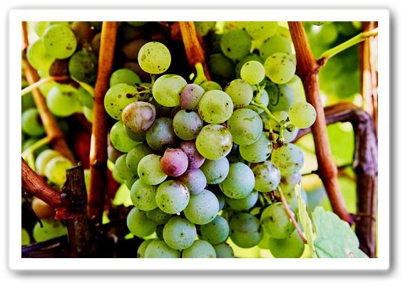 здоровье. Виноград